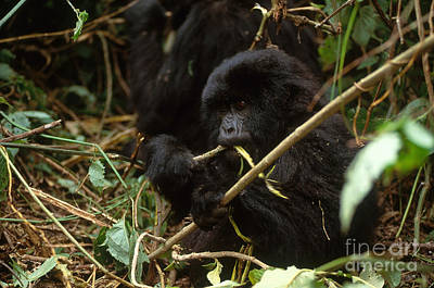 Gorilla Photograph - Mountain Gorilla by Art Wolfe