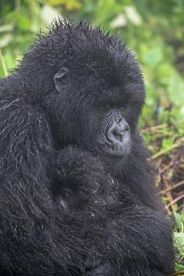 Photograph - Mountain Gorilla, Gorilla Beringei by Tom Murphy