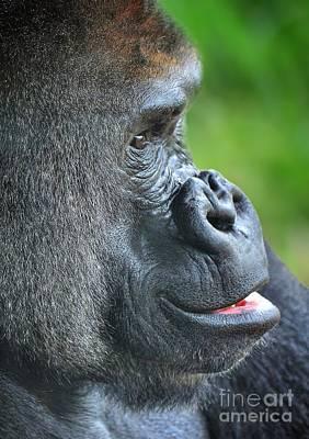 Photograph - Mountain Gorilla by Kathy Baccari