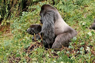 African Sex Photograph - Mountain Gorillas Mating by Science Photo Library