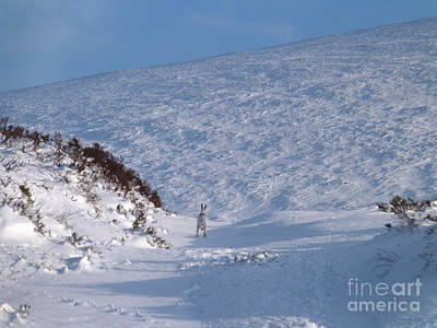 Photograph - Mountain Hare - Snow Run by Phil Banks