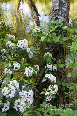 Photograph - Mountain Laurel 1 by Chris Scroggins