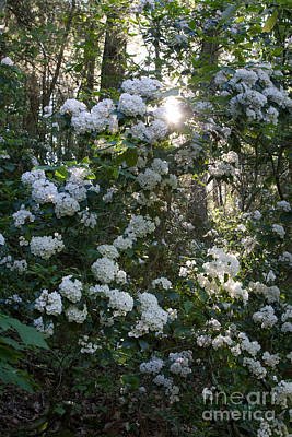 Photograph - Mountain Laurel 2 by Chris Scroggins