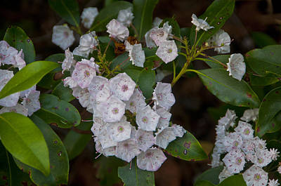 Photograph - Mountain Laurel #2 by Paul Miller