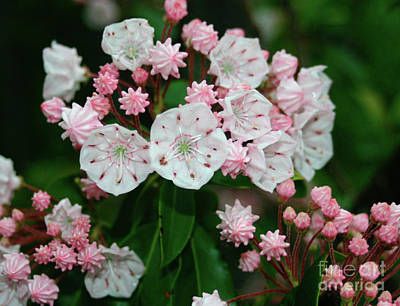 Photograph - Mountain Laurel by Annlynn Ward