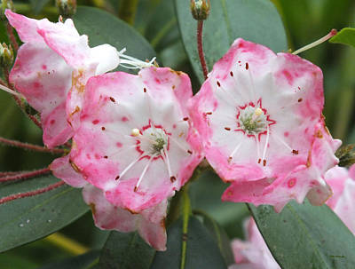 Photograph - Mountain Laurel Flowers 2 by Duane McCullough