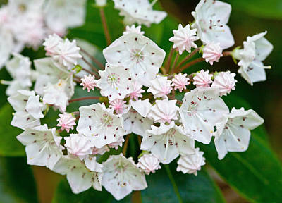 Photograph - Mountain Laurel by Melinda Fawver