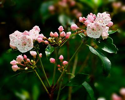 Photograph - Mountain Laurel by Walt Sterneman