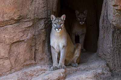 Photograph - Mountain Lions In Cave by Arterra Picture Library