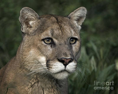 Panther Photograph - Mountain Lion-animals-4 by Wildlife Fine Art