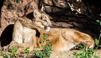 The Who - Mountain Lion Bathing in Morning Sun by Michael Moriarty