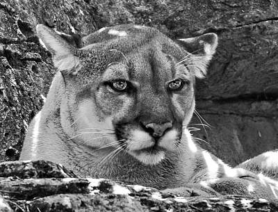 Wild And Wacky Portraits Rights Managed Images - Mountain lion Bergen County Zoo Royalty-Free Image by Jorge Perez - BlueBeardImagery