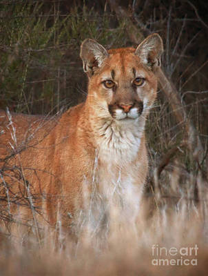 Photograph - Mountain Lion by Beth Sargent