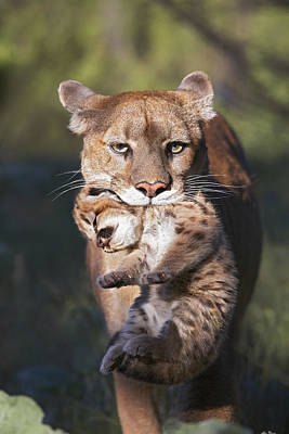 Mountain Lion Carrying Her Cub Art Print
