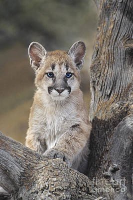Photograph - Mountain Lion Cub by Dave Welling