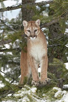 Puma Photograph - Mountain Lion In Mid Air Jumping by Adam Jones
