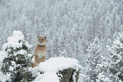 Puma Photograph - Mountain Lion In Snow Montana by Alan & Sandy Carey