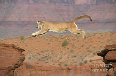 Photograph - Mountain Lion Leaping by Alan and Sandy Carey