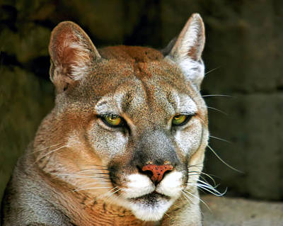 Photograph - Mountain Lion by Mary Almond