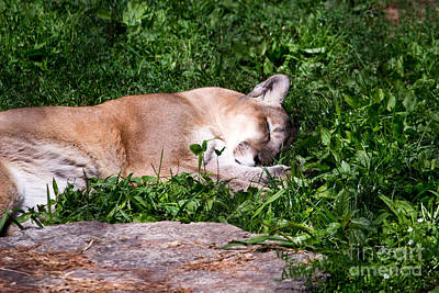 Photograph - Mountain Lion Napping by Ms Judi
