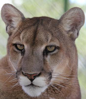 Photograph - Mountain Lion Portrait 1 by Diane Alexander