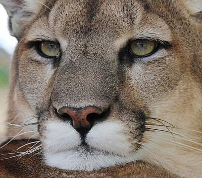 Mountain Lion Portrait 2 Art Print by Diane Alexander