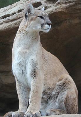Photograph - Mountain Lion Pose by Diane Alexander