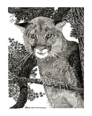 Panther Drawing - Mountain Lion Puma by Jack Pumphrey