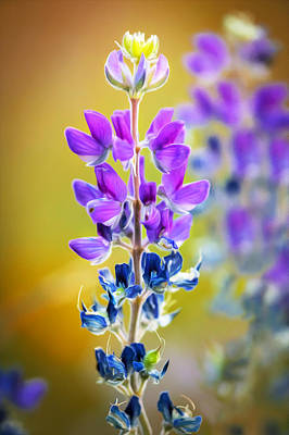 Photograph - Mountain Lupine Glacier National Park Painted by Rich Franco