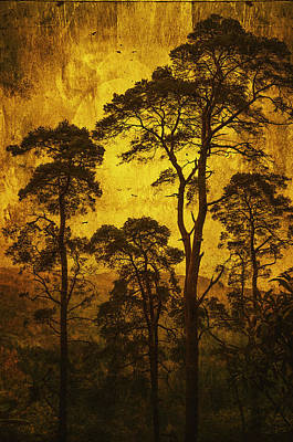 Photograph - Mountain Pine Trees by Jenny Rainbow