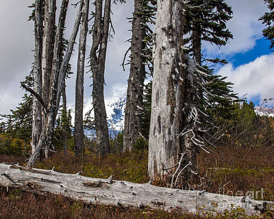 Photograph - Mountain Pines by Chuck Flewelling