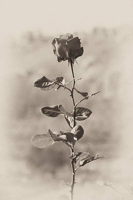 Photograph - Mountain Rose by Goyo Ambrosio