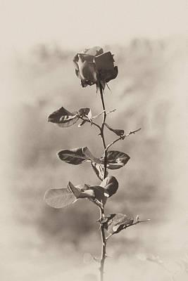 Photograph - Mountain Rose by Goyo Ambrosio