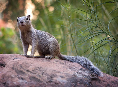Photograph - Mountain Squirrel by Marilyn Hunt
