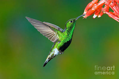 Nectaring Bird Photograph - Mountain Velvetbreast by Anthony Mercieca