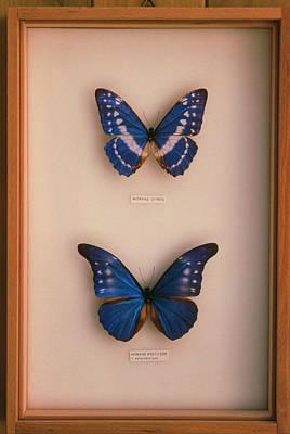 Morpho Wall Art - Photograph - Mounted Morpho Butterflies (morpho Sp.) by Pascal Goetgheluck/science Photo Library