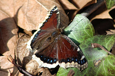 Photograph - Mourning Cloak by David Armstrong