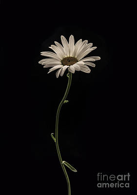 Mournful Daisy Print by Diane Diederich