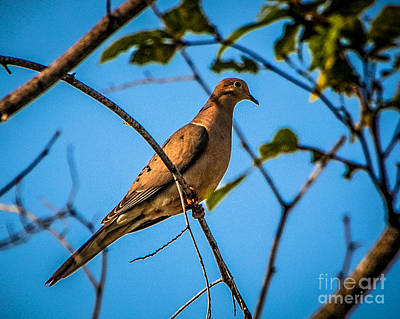 Photograph - Mournin Dove by Grace Grogan
