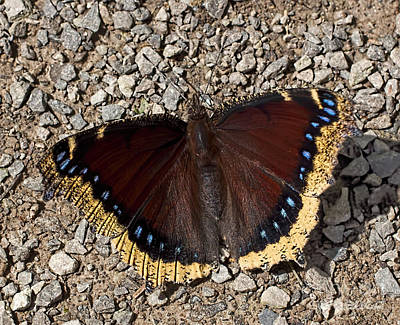 Photograph - Mourning Cloak by Barbara McMahon