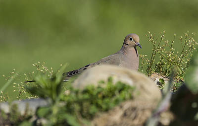 Mourning Dove 1 Art Print by David Lester