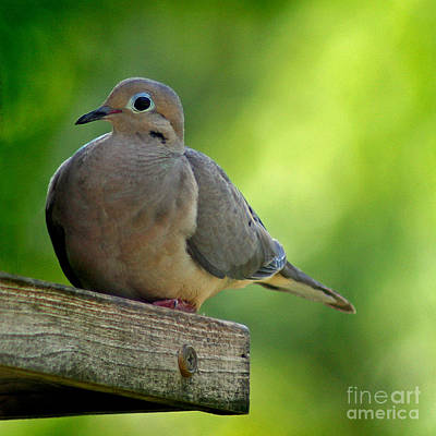 Photograph - Mourning Dove At Feeder by Karen Adams