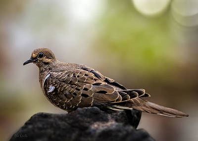 Collectible Photograph - Mourning Dove by Bob Orsillo