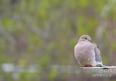 Photograph - Mourning Dove by Heidi Hermes
