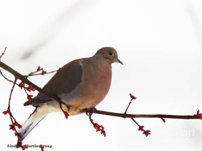 Photograph - Mourning Dove In Snow Glow by Linda L Martin