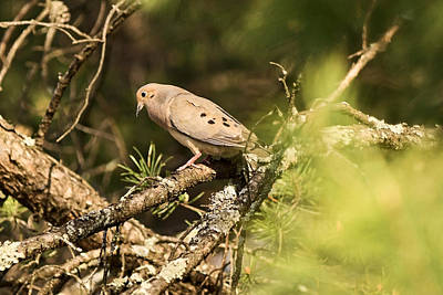 Photograph - Mourning Dove In The Evening by Theo OConnor