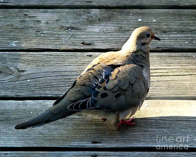 Photograph - Mourning Dove by Kristen Fox