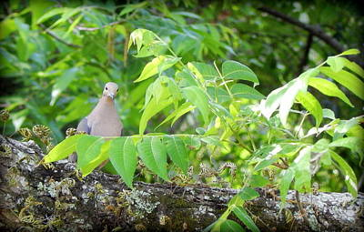 Mourning Dove Art Print by Lynn Griffin