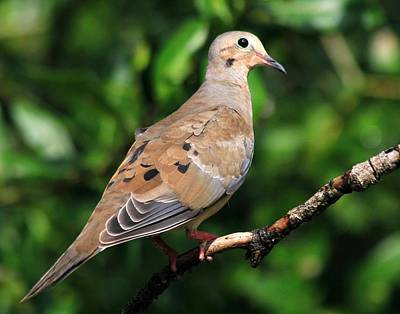 Photograph - Mourning Dove Posing by Ira Runyan