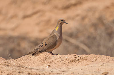 Bono Photograph - Mourning Dove by Rich Leighton